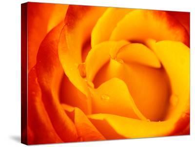 """Rosa """"Dicobey"""" (Rosa """"Tequila Sunrise"""")-Lynn Keddie-Stretched Canvas Print"""