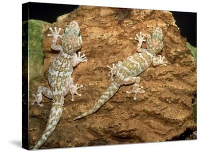 Big Headed Gecko, Male and Female-Andrew Bee-Stretched Canvas Print