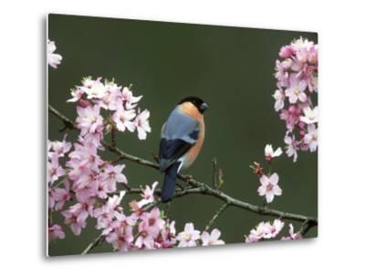 Bullfinch, Pyrrhula Pyrrhula, Male, Feeding on Cherry Blossom, UK-Mark Hamblin-Metal Print