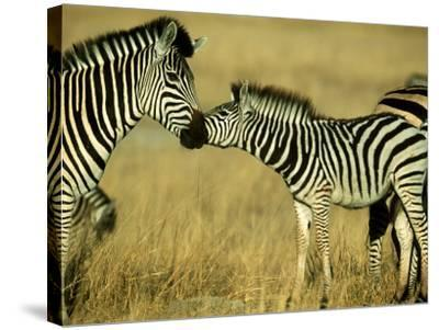 Burchells Zebra Youngster Greeting Mother Botswana, Southern Africa-Mark Hamblin-Stretched Canvas Print