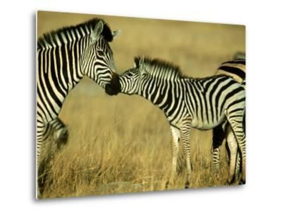 Burchells Zebra Youngster Greeting Mother Botswana, Southern Africa-Mark Hamblin-Metal Print