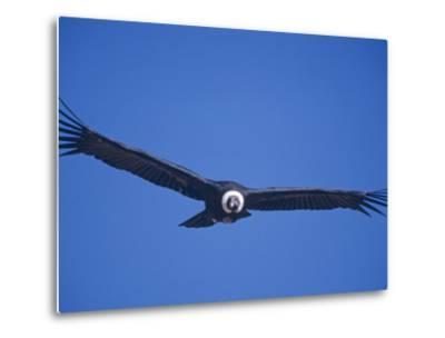 Andean Condor, Peru-Mark Jones-Metal Print