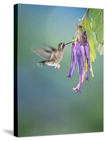 Speckled Hummingbird, West Slope Cloud Forest, Ecuador-Mark Jones-Stretched Canvas Print