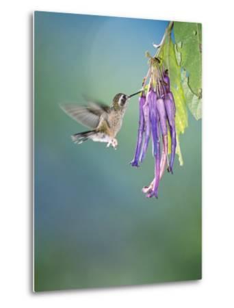 Speckled Hummingbird, West Slope Cloud Forest, Ecuador-Mark Jones-Metal Print