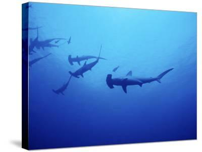 Scalloped Hammerhead Shark, Group, Red Sea-Gerard Soury-Stretched Canvas Print