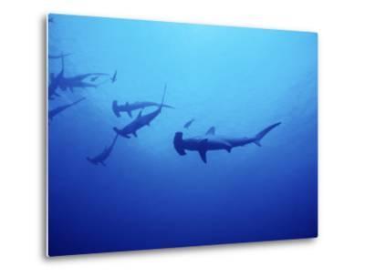 Scalloped Hammerhead Shark, Group, Red Sea-Gerard Soury-Metal Print