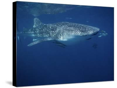 Whale Shark, with Pilot Fish, Australia-Gerard Soury-Stretched Canvas Print