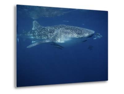 Whale Shark, with Pilot Fish, Australia-Gerard Soury-Metal Print