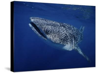 Whale Shark, Swimming, Australia-Gerard Soury-Stretched Canvas Print
