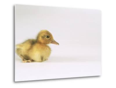 Domestic Duck, Duckling-Les Stocker-Metal Print