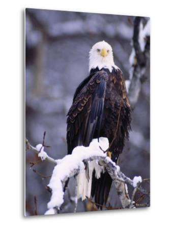 Bald Eagle, Chilkat River, AK-Elizabeth DeLaney-Metal Print