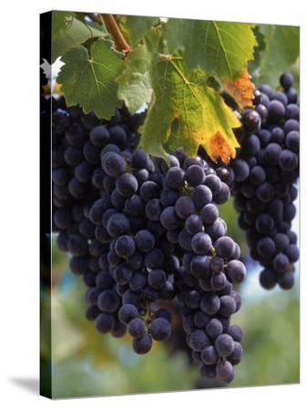 Close-up of Grapes on Vine-John Luke-Stretched Canvas Print