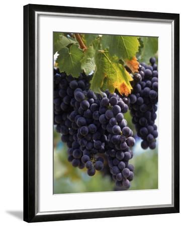 Close-up of Grapes on Vine-John Luke-Framed Photographic Print