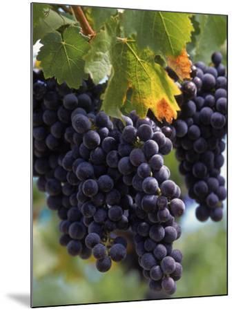 Close-up of Grapes on Vine-John Luke-Mounted Photographic Print