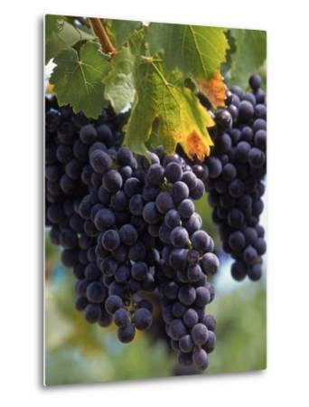 Close-up of Grapes on Vine-John Luke-Metal Print