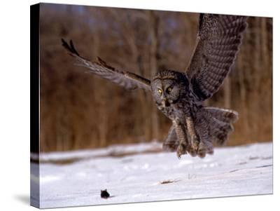 Great Gray Owl Flying, Rowley, MA-Harold Wilion-Stretched Canvas Print