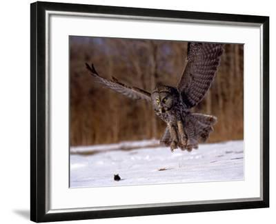 Great Gray Owl Flying, Rowley, MA-Harold Wilion-Framed Photographic Print