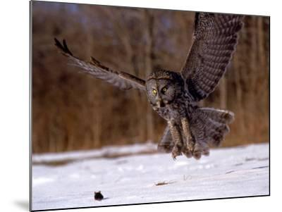 Great Gray Owl Flying, Rowley, MA-Harold Wilion-Mounted Photographic Print