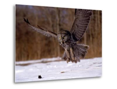 Great Gray Owl Flying, Rowley, MA-Harold Wilion-Metal Print