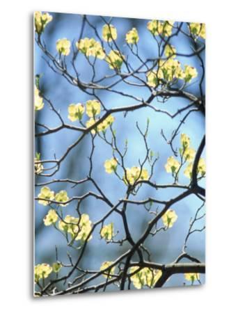 Branches of Spring Flowering Tree-Steven Emery-Metal Print