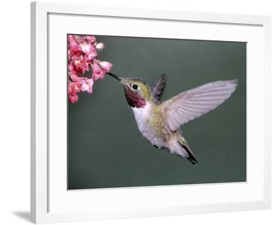 Male Broad Tail Hummingbird-Russell Burden-Framed Photographic Print