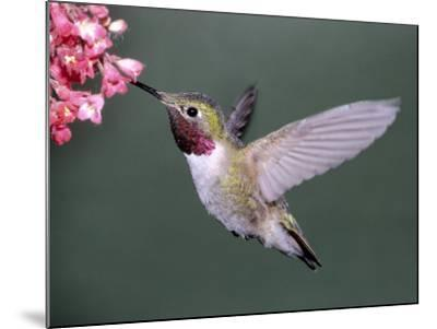 Male Broad Tail Hummingbird-Russell Burden-Mounted Photographic Print