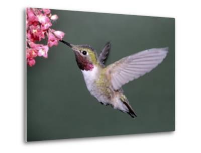 Male Broad Tail Hummingbird-Russell Burden-Metal Print