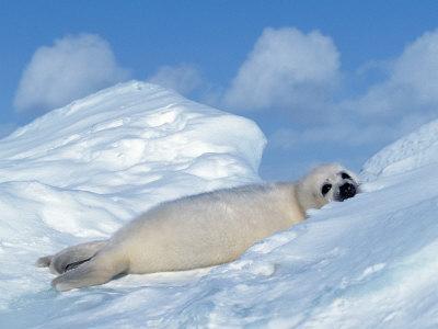Harp Seal Pup, Pagophilus Groenlandicus, Canada-D^ Robert Franz-Framed Photographic Print