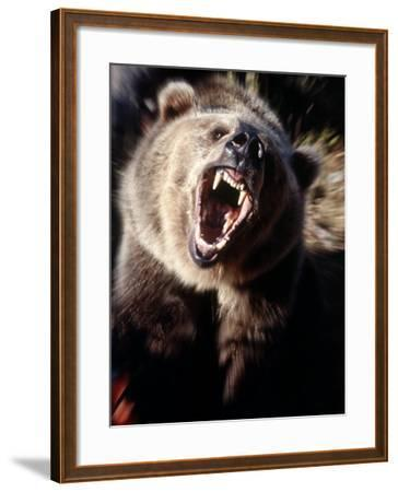 Grizzly Bear Growling-Guy Crittenden-Framed Photographic Print
