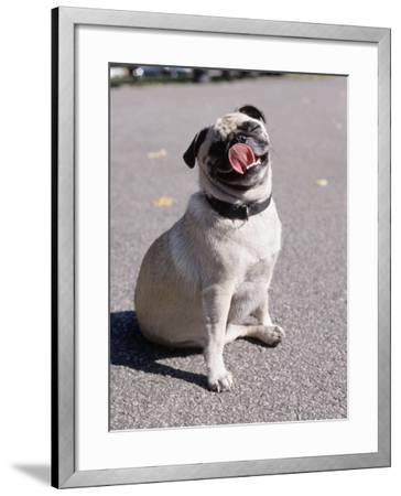 Pug Licking His Mouth-Henry Horenstein-Framed Photographic Print