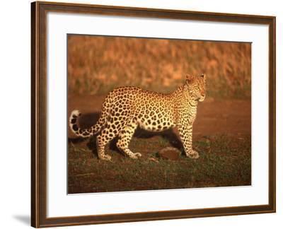 Kenya, Africa, Leopard, Panthera Pardus--Framed Photographic Print