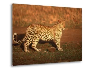 Kenya, Africa, Leopard, Panthera Pardus--Metal Print