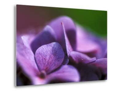 Hydrangea Macrophylla (Bouquet Rose), Close-up-Ruth Brown-Metal Print