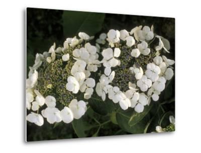 "Hydrangea Macrophylla ""Libelle""-Michele Lamontagne-Metal Print"