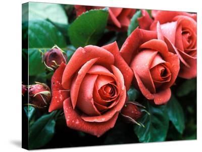 "Rosa ""Meicobuis"" (Rosa ""Terracotta"")-Michele Lamontagne-Stretched Canvas Print"