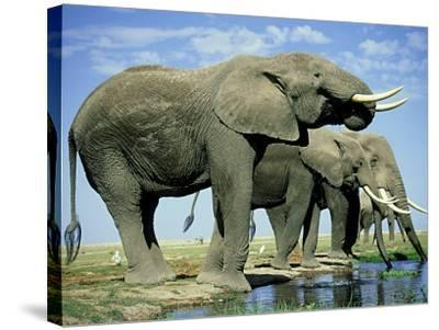 African Elephant, Amboseli National Park, Kenya-Martyn Colbeck-Stretched Canvas Print