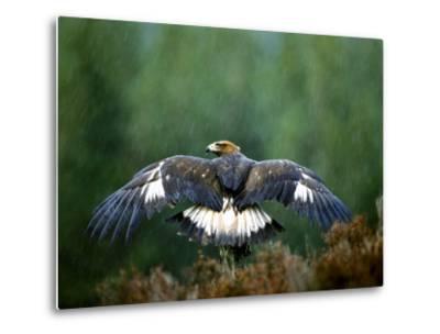 Golden Eagle, Male Perched, Highlands, Scotland-Mark Hamblin-Metal Print