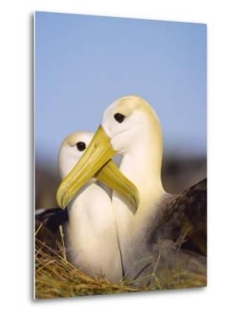 Waved Albatross, Pair Bonding, Espanola Island, Galapagos-Mark Jones-Metal Print