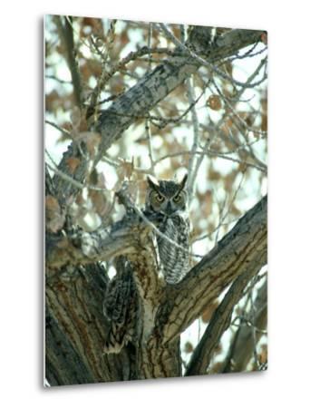 Great Horned Owl in Tree, NM-Stan Osolinski-Metal Print