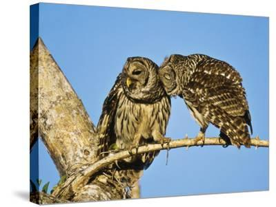 Barred Owl, Pair Bonding, Florida, USA-Stan Osolinski-Stretched Canvas Print