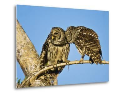 Barred Owl, Pair Bonding, Florida, USA-Stan Osolinski-Metal Print