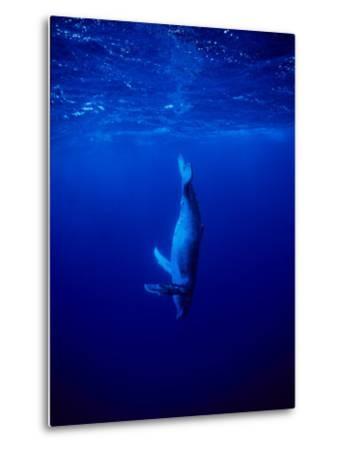 Humpback Whale, Juvenile, Polynesia-Gerard Soury-Metal Print