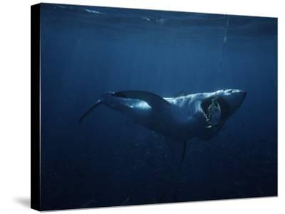 Great White Shark, Swallowing Bait, South Australia-Gerard Soury-Stretched Canvas Print