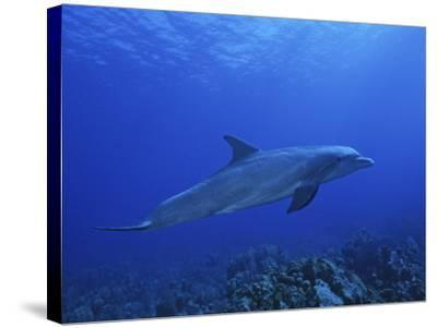 Bottlenose Dolphin, Underwater, Caribbean-Gerard Soury-Stretched Canvas Print