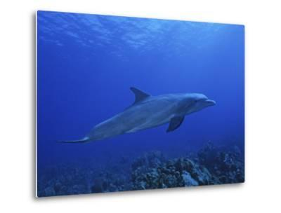Bottlenose Dolphin, Underwater, Caribbean-Gerard Soury-Metal Print