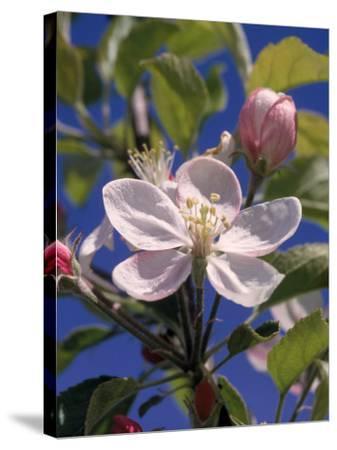 Apple Blossom-John Luke-Stretched Canvas Print