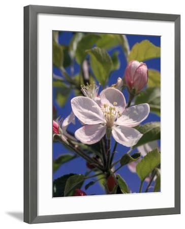 Apple Blossom-John Luke-Framed Photographic Print