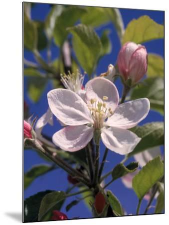 Apple Blossom-John Luke-Mounted Photographic Print