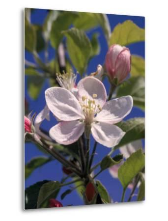 Apple Blossom-John Luke-Metal Print