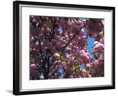 Flowering Cherry Tree, Ct-Kurt Freundlinger-Framed Photographic Print